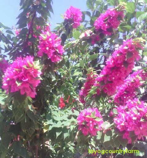 blog bougainvilla 1
